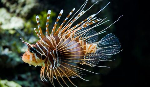 Lionfish hunt in packs and share prey.