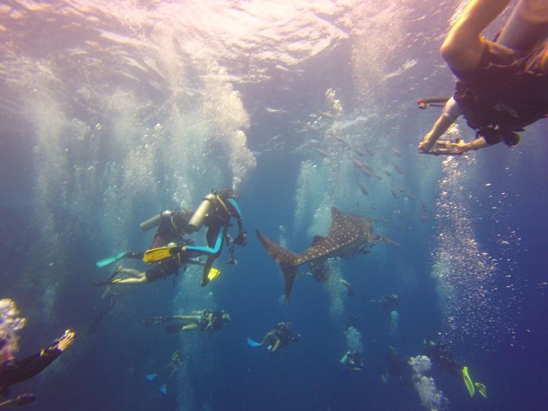 Whale Shark Mania on Koh Tao