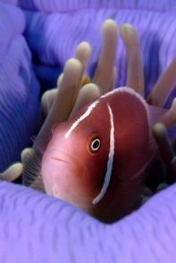 DW-Clownfish-004