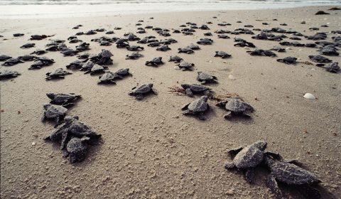 Schildpad kruipt uit het nest