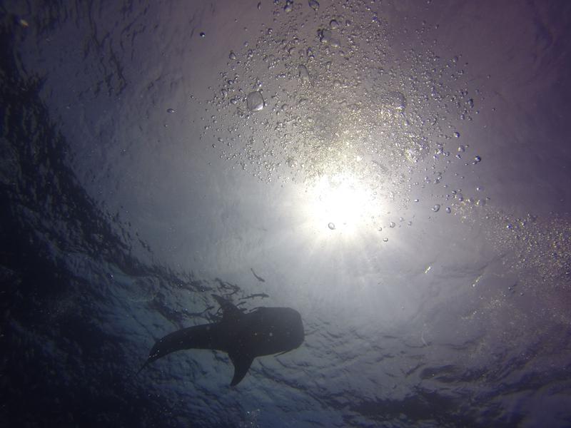 Whale Shark at Sail Rock Koh Tao
