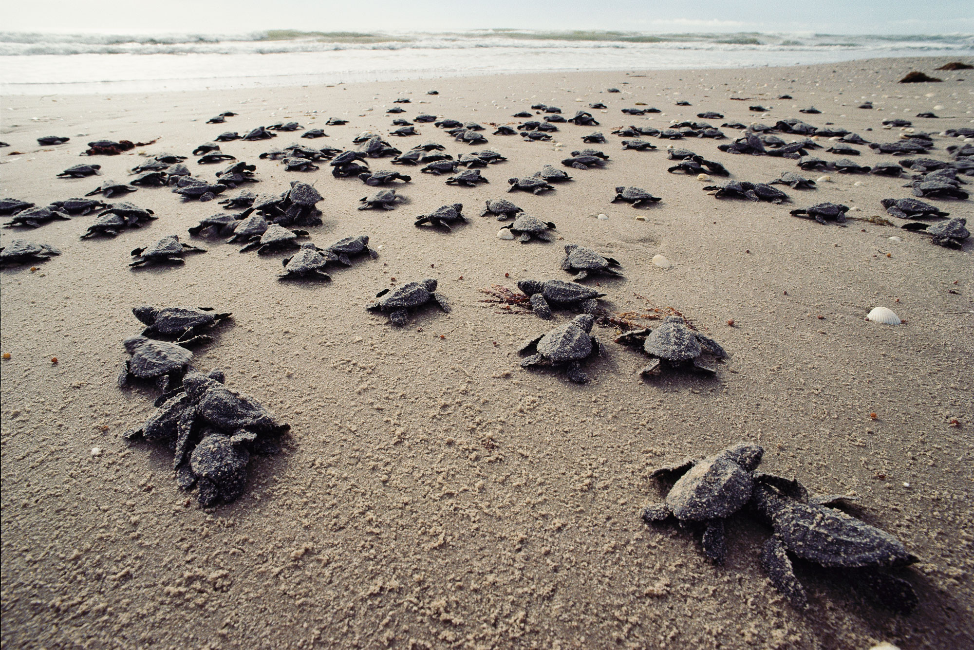 Many sea turtles just emerged from the nest on their way to the sea.