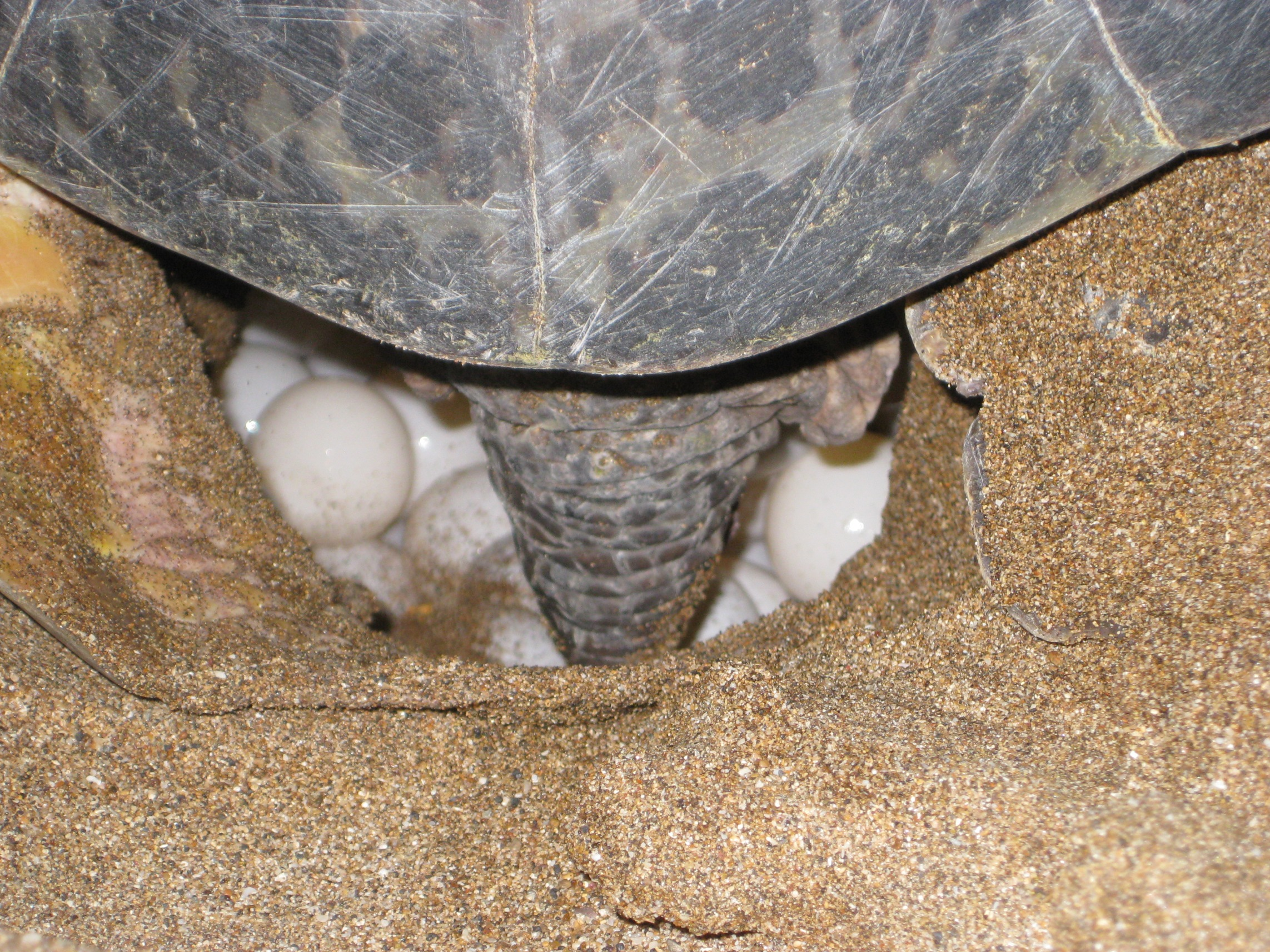 Sea turtles lay their eggs on the beach.