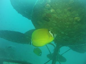 An other butterflyfish lives below the flower.