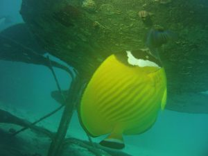 A butterflyfish lives below the CoralGardening flower.