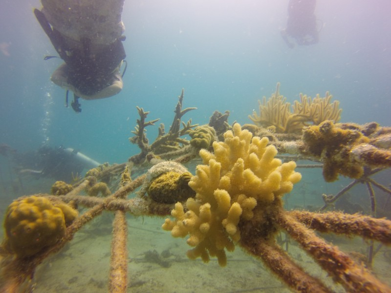 Coral grows on mineral accretion devices Coral-Aid