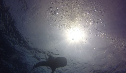 Whale Shark at Sail Rock Koh Tao