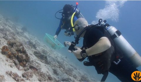Vera and Frank collecting coral fragments of hope.
